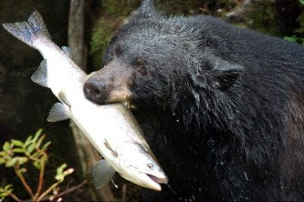 Alaska species land mammals USFS hungry bear