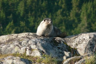 Alaska species land mammals ADFG Jamie Karnik Marmoton Rock JNU