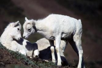 Alaska species land mammals FWS Mike Boylan Dallsheeplambs