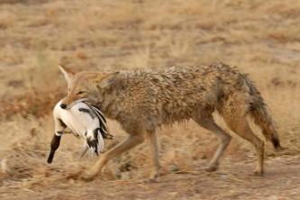 Alaska species land mammals Coyote 1046