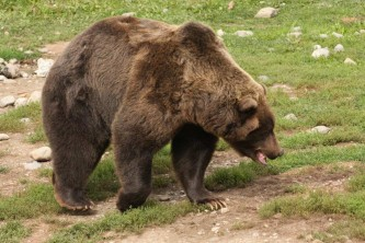 Alaska species land mammals357391239 img 2458 John Gomes 2000 2008