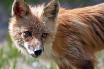 Alaska species land mammals Red Fox Kevyn Jalone