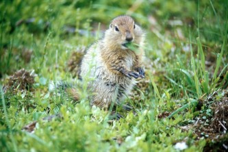 Alaska species land mammals Arctic Ground Squirrel