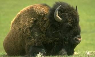 Alaska species land mammalssoundwildbat bison rsz