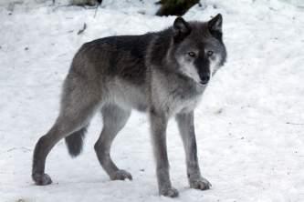Alaska species land mammals1147917354 img 9398 John Gomes 2000 2011