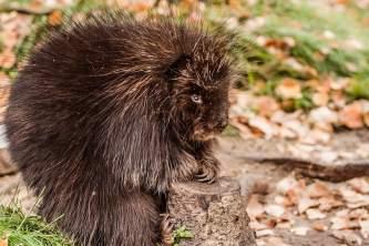 Alaska species land mammals670220538 img 6361 John Gomes 2000 2009