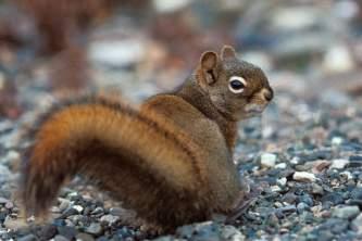 Alaska species land mammals Red Squirrel