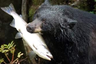 Alaska species land mammals USFS hungry bear