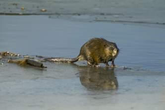 Alaska species land mammalsmuskrat