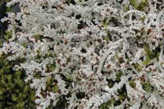 Alaska species lichens Foam Lichen
