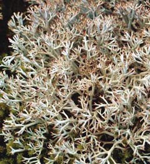 Alaska species lichens Gray Reindeer Lichen
