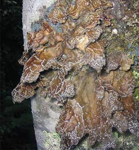 Alaska species lichens Dimpled Specklebelly Lichen
