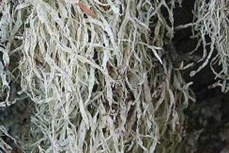 Alaska species lichens Dotted Ramalina