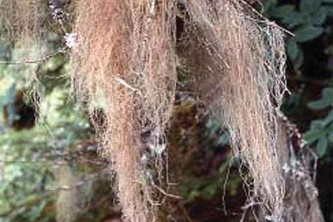 Alaska species lichens Gray Horsehair Lichen