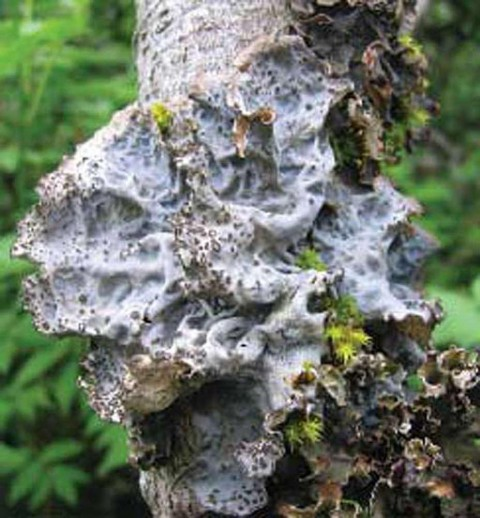 Alaska species lichens Gray Lungwort