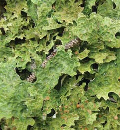 Alaska species lichens Cabbage lungwort