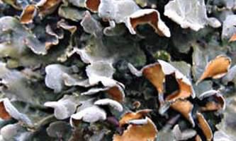 Alaska species lichens Pimpled Kidney Lichen