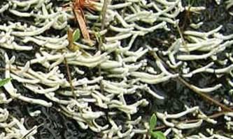 Alaska species lichens Waterfingers