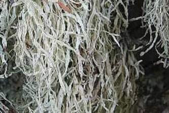 Alaska species lichens Dotted Ramalina