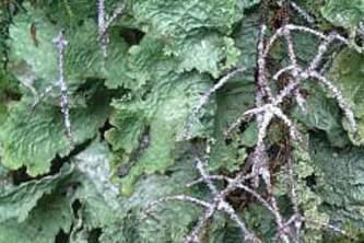 Alaska species lichens Lettuce Lichen