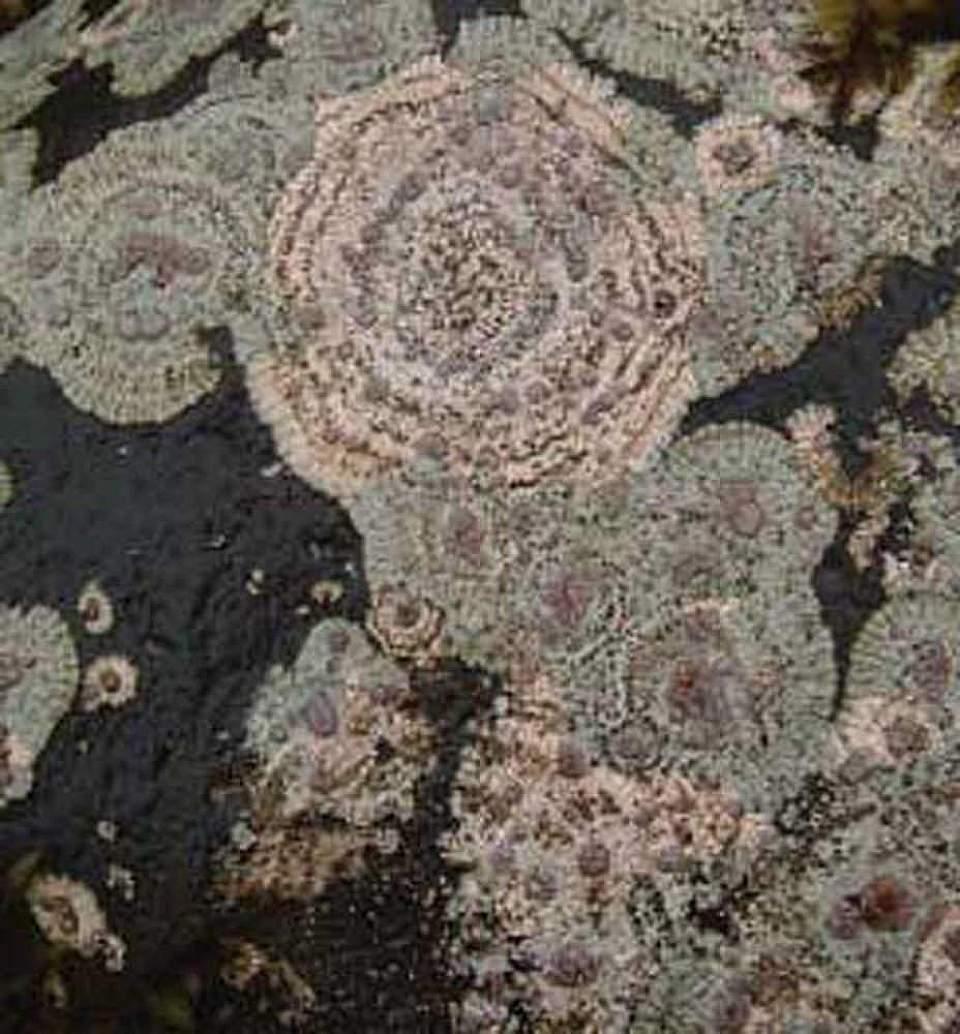Alaska species lichens Bulls Eye Lichen