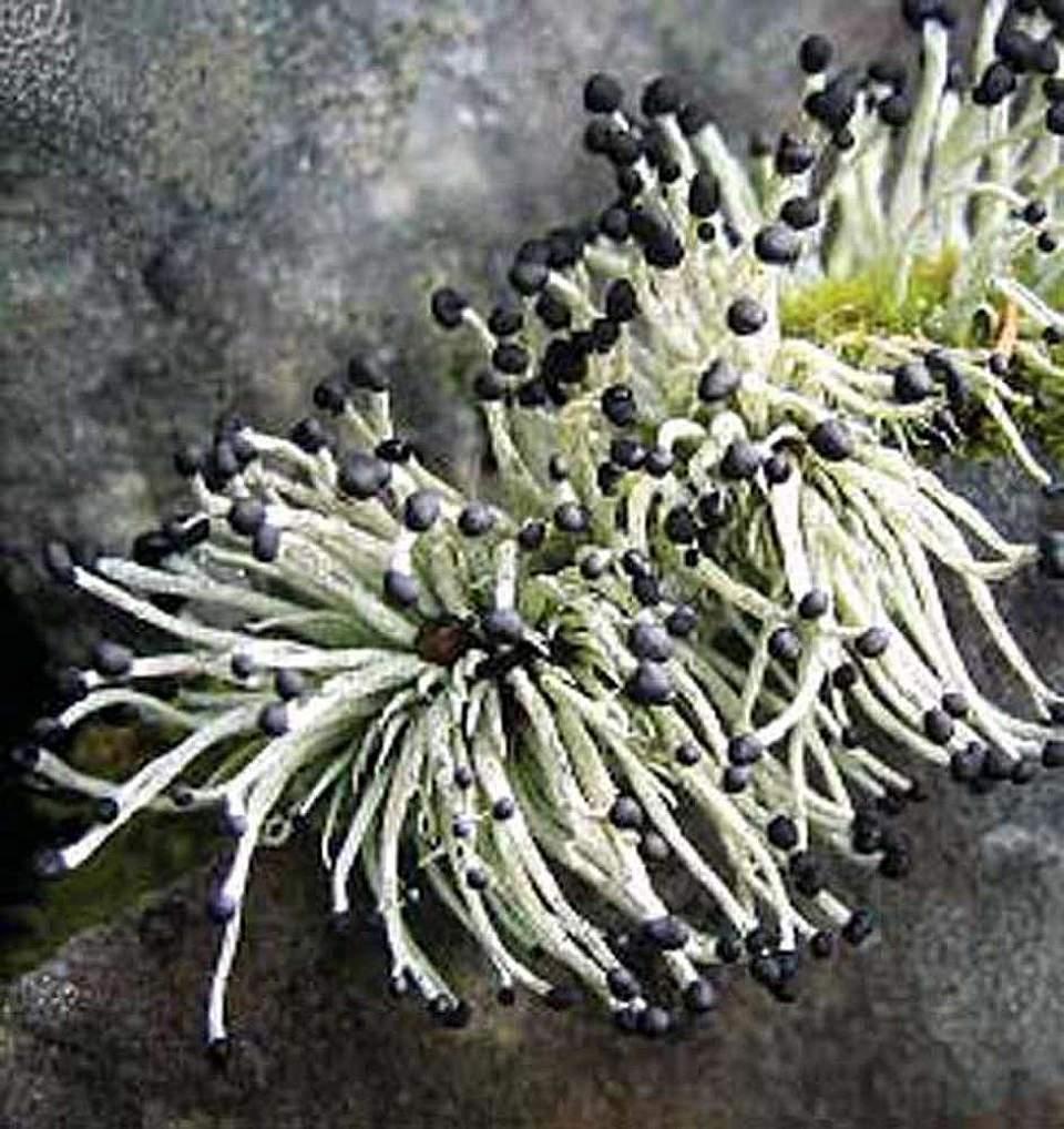 Alaska species lichens Devils Matchstick