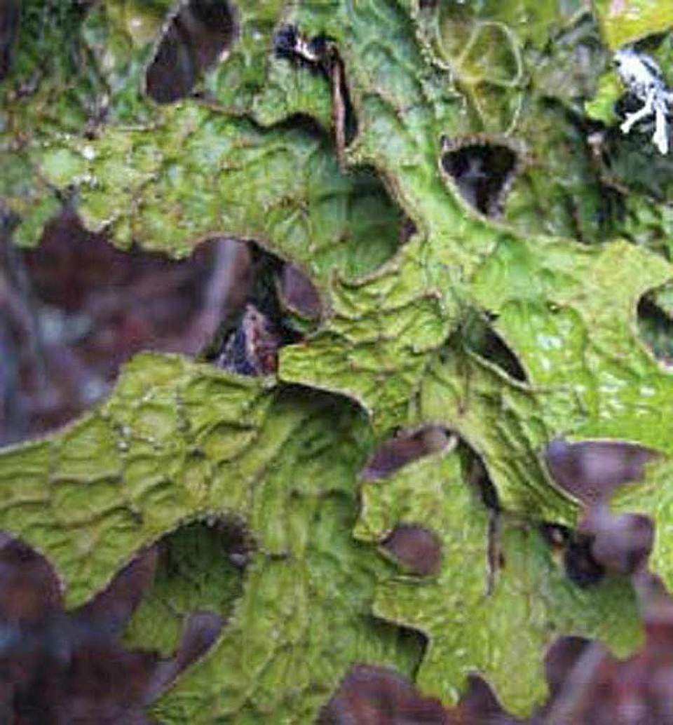 Alaska species lichens Lungwort