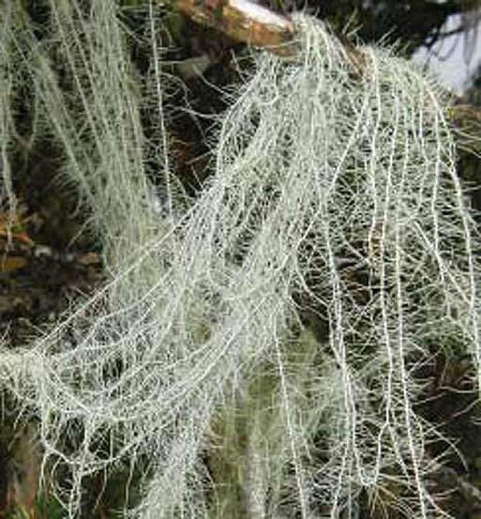Alaska species lichens Methusulas Beard
