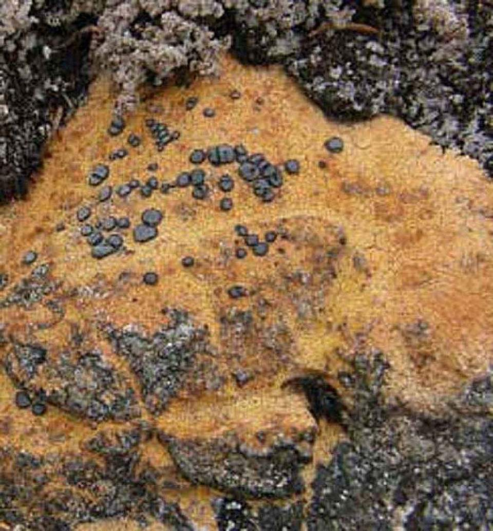 Alaska species lichens Orange Boulder Lichen