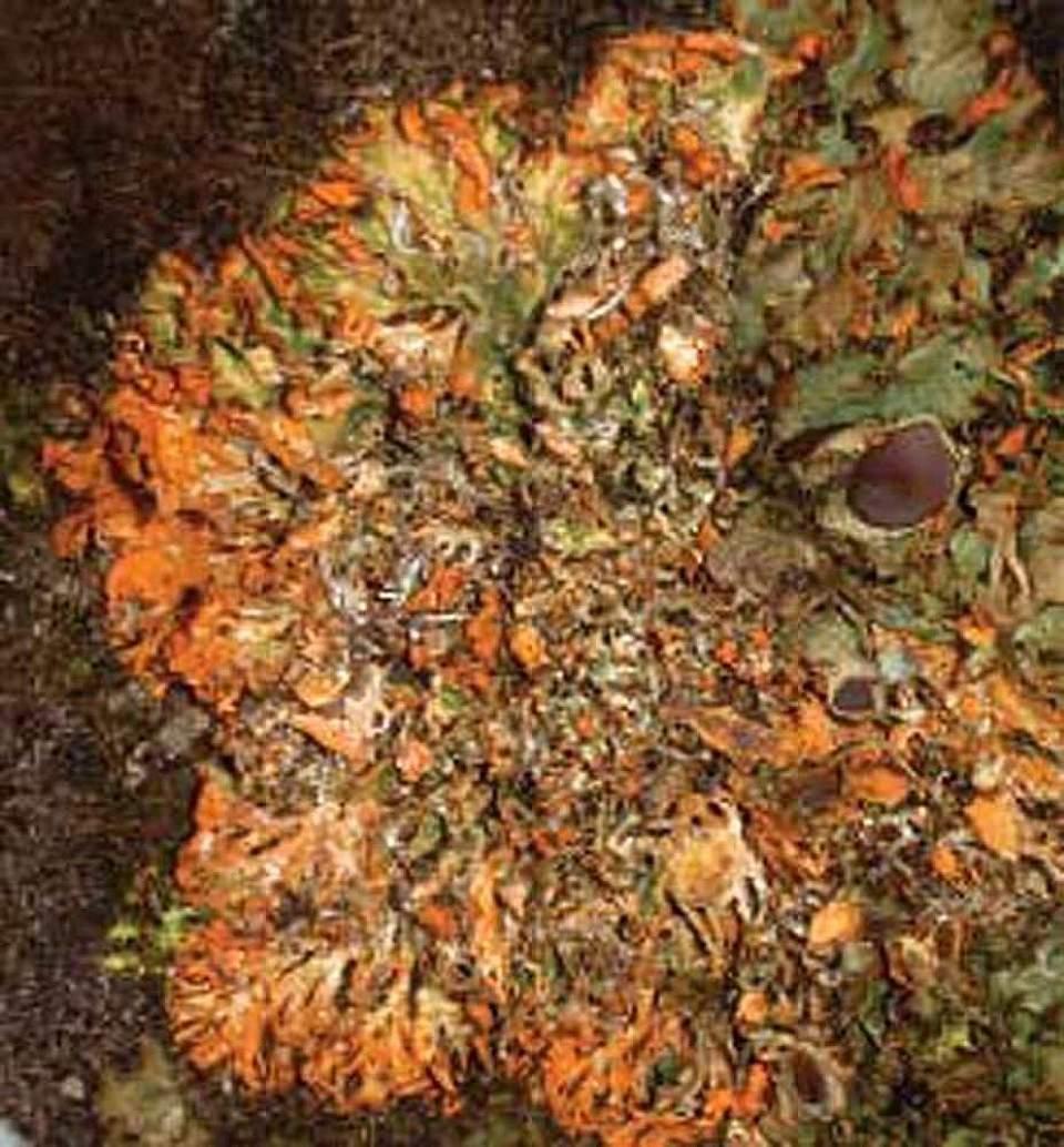 Alaska species lichens Orange Chocolate Chip Lichen