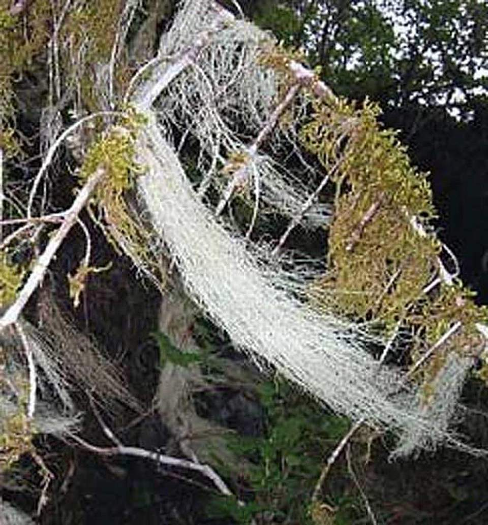 Alaska species lichens Witchs Hair