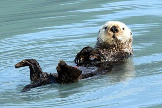 Alaska species marine mammals Sea otter D Alaska Channel