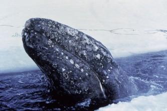 Alaska species marine mammalsgray whale