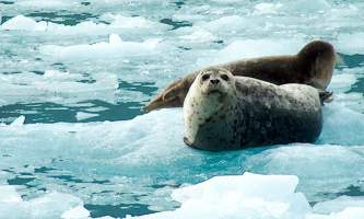 Alaska species marine mammals Harbor Seals AB Alaska Channel