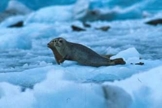 Alaska species marine mammals Harbor Seal Alaska Channel