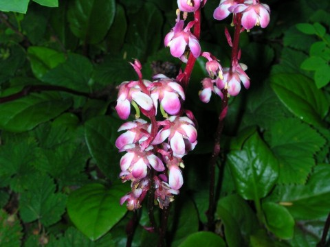 Plants flowers pyrola asaifolia flickr Flickr