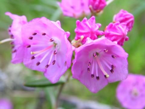 Plants flowers Kalmia polifolia wikimedia commons Wikimedia Commons