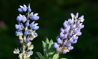 Alaska species plants flowers Lupine Alaska Channel