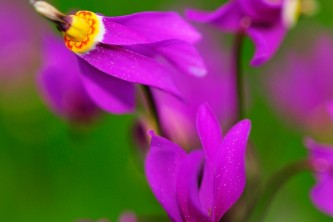 Alaska species plants flowers Shooting Star