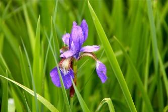 Alaska species plants flowers Wild Flag Iris