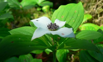 Alaska species plants flowers Drawf Dogwood Bunchberry Carpets