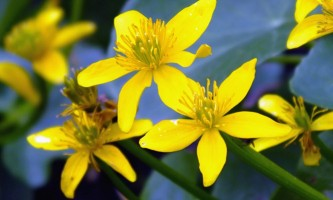 Alaska species plants flowers marsh marigold