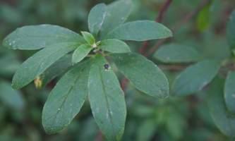 Alaska species plants flowers IMG 7449