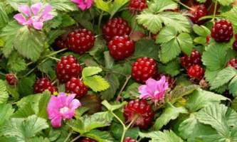 Plants flowers nagoonberry