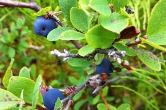 Alaska species plants flowers 15490ca7 71a4 45a4 9e9c 7a0d971308b0