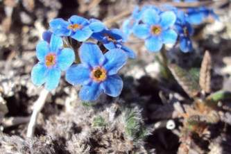 Alaska species plants flowers Arctic Forget me not 1