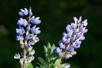 Alaska species plants flowers Lupine Alaska Channel