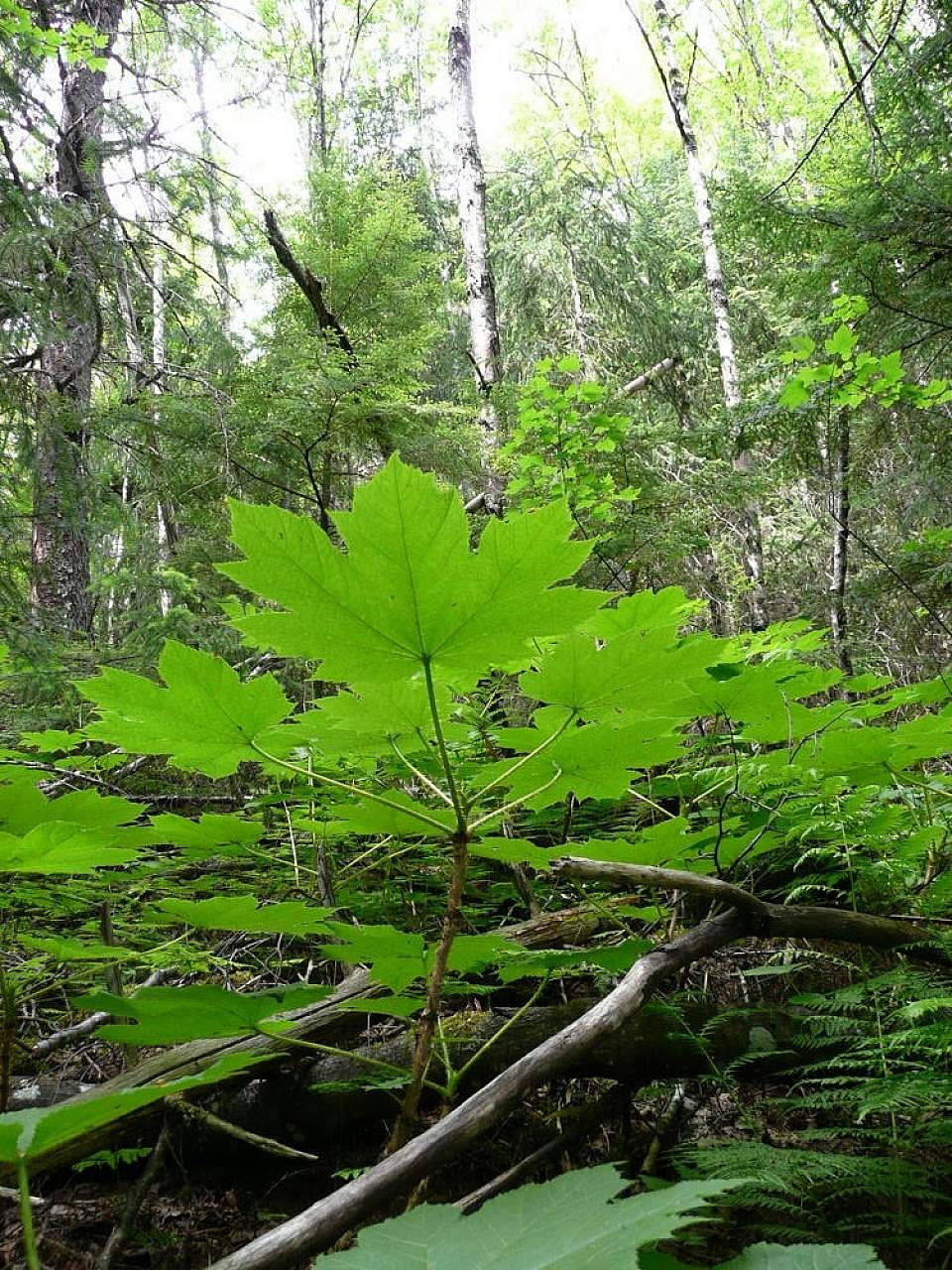 Alaska species plants flowers Devils Club Battery Point Hike Matthew Hawthorne