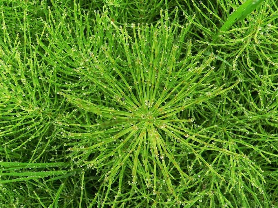 Alaska species plants flowers Horsetail In Rain