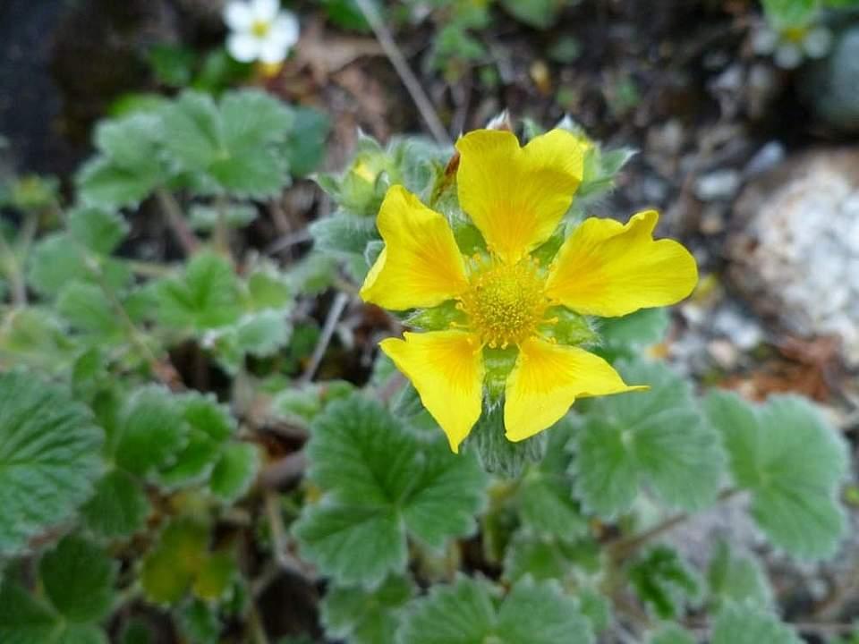 Plants flowers Villous Cinquefoil